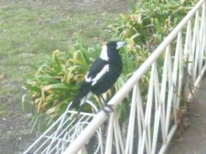 magpie small 1